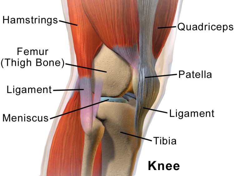 l'anatomie du genou